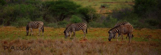 Zebras.Caption taken by me
