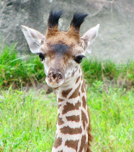 Baby Giraffe via flickr by Jude